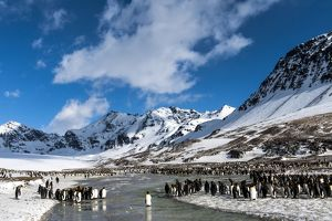 King Penguins colony with snow-capped mountains