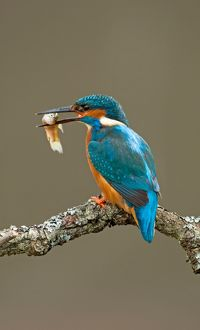 Kingfisher adult with fish prey spring