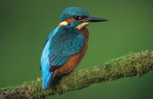 KINGFISHER - perched on branch