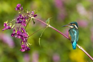 Kingfisher - perched on Himalyan Balsam Plant (Impatiens