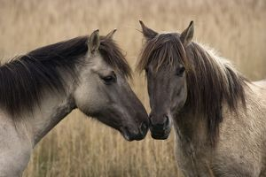 Konik Ponies - Two together