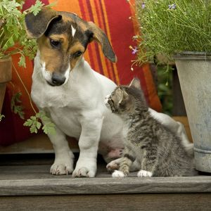 LA-4108-C Dog - 3 month old Jack Russell Terrier Puppy with 2 month old kitten