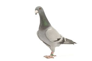LA-4577 Fancy Pigeon breed - German Beauty Homer - in studio