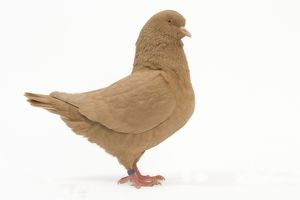 LA-4582 Fancy Pigeon breed - King Pigeon yellow - in studio
