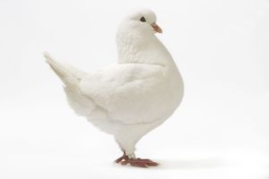 LA-4707 King Pigeon - white