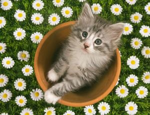 LA-4841-M Cat - Norwegian forest kitten in flowerpot with flowers