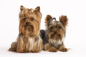 LA-5181 Dog - Yorkshire Terrier - two in studio