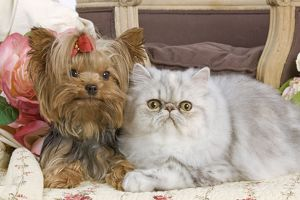 LA-5195 Dog - Yorkshire Terrier and Persian Cat