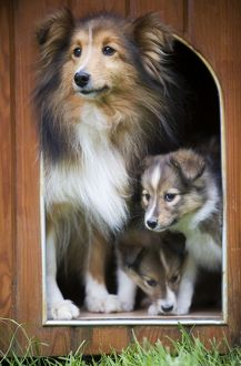 LA-5205 Dog - Shetland Sheepdog and puppies in kennel