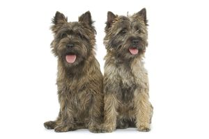LA-5211 Dog - Cairn Terrier in studio