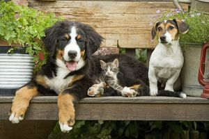 LA-5212 Dog - Bernese Mountain Dog, Jack Russell Terrier puppy and kitten sitting on bench