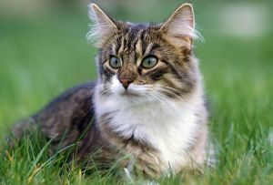LA-5225 Norwegian Forest Cat