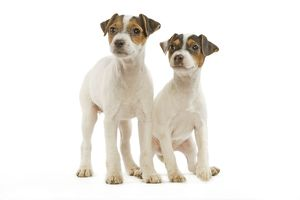 LA-5236 Dog - Jack Russell Terrier - two puppies in studio