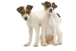 LA-5238 Dog - Jack Russell Terrier - two puppies in studio