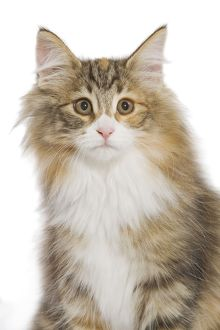 LA-5253 Norwegian Forest Cat
