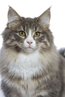 LA-5254 Norwegian Forest Cat