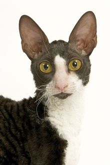 LA-5260 Cat - Cornish Rex bicolour black and white in studio