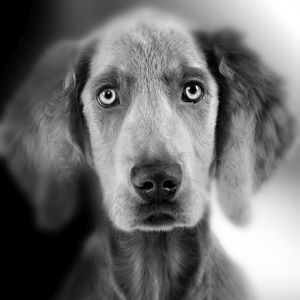 LA-5286 Weimaraner Dog - close-up of face. Black and White