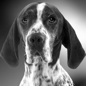 LA-5288 Pointer Dog - close-up of face. Black and White