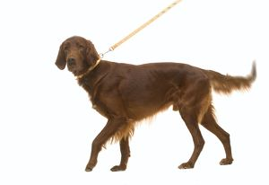 LA-5299 Red / Irish Setter - on lead in studio, wagging tail