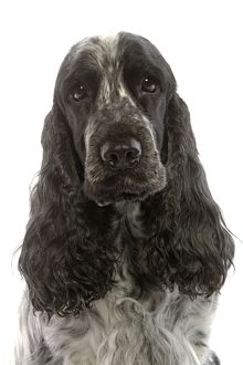 LA-5313 Dog - English Cocker Spaniel sitting in studio