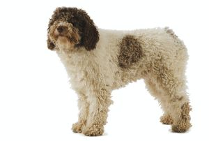 <b>Spanish Water Dog</b><br>Selection of 53 items