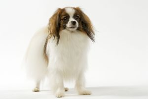 LA-5341 Dog - Continental Toy Spaniel / Phalene