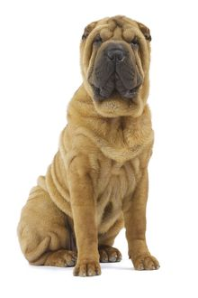 LA-5367 Dog - Sharpei - brush coat
