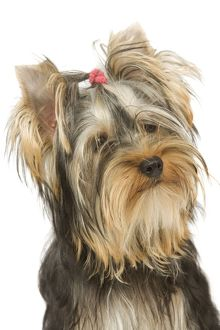 LA-5390 Dog - Yorkshire Terrier
