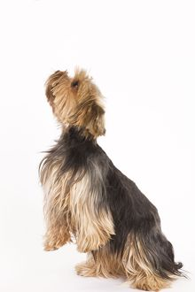 LA-5397 Dog - Yorkshire terrier on hind legs
