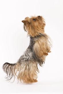 LA-5398 Dog - Yorkshire terrier on hind legs