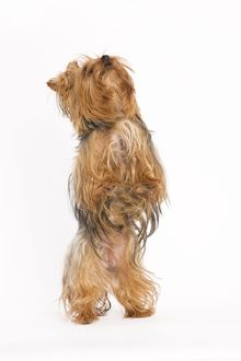LA-5399 Dog - Yorkshire terrier on hind legs
