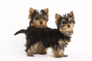 LA-5402 Dog - Yorkshire terrier - two