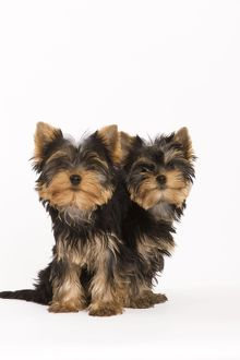 LA-5403 Dog - Yorkshire terrier - two