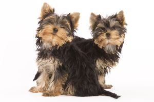 LA-5404 Dog - Yorkshire terrier - two