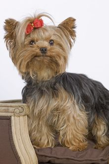 LA-5419 Dog - Yorkshire Terrier on chair