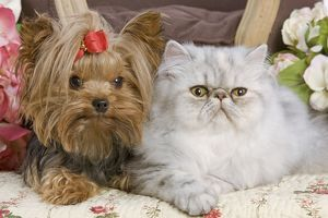LA-5420 Dog - Yorkshire Terrier with Persian cat on floral fabric