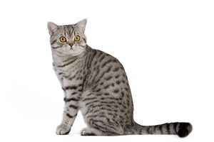 LA-5436 Cat - British Shorthair Silver Spotted - in studio
