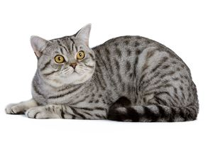LA-5437 Cat - British Shorthair Silver Spotted - in studio