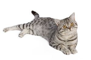 LA-5438 Cat - British Shorthair Silver Spotted - in studio