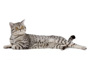LA-5439 Cat - British Shorthair Silver Spotted - in studio