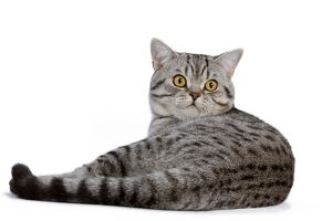 LA-5440 Cat - British Shorthair Silver Spotted - in studio