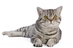LA-5441 Cat - British Shorthair Silver Spotted - in studio