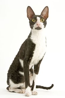 LA-5487 Cat - Cornish Rex bicolor