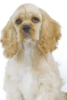 LA-5503 Dog - American Cocker Spaniel