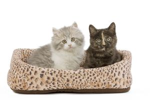 LA-5525 Cat - British longhair & shorthair - 8 week old kittens in cat bed