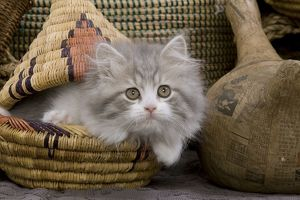 LA-5529 Cat - British longhair - 8 week old kitten in basket