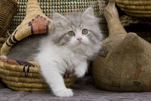 LA-5530 Cat - British longhair - 8 week old kitten in basket
