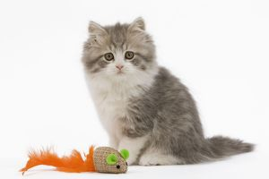 LA-5531 Cat - British longhair - 8 week old kitten with toy mouse