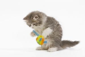 LA-5532 Cat - British longhair - 8 week old kitten playing with toy mouse